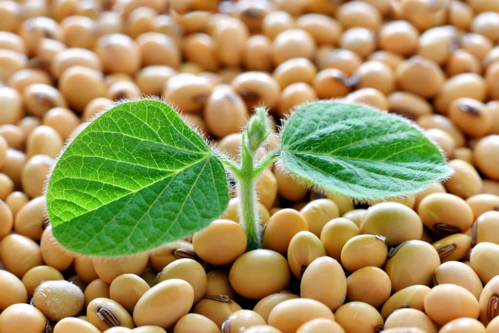 Soy Plant